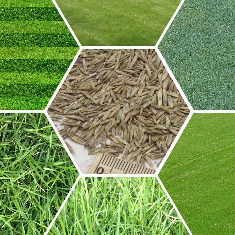 Turf Grass Seeds Golf Soccer Fields Villa Special grade Evergreen Lawn seeds1000 pcs high-grade Flowers and seeds(China (Mainland))