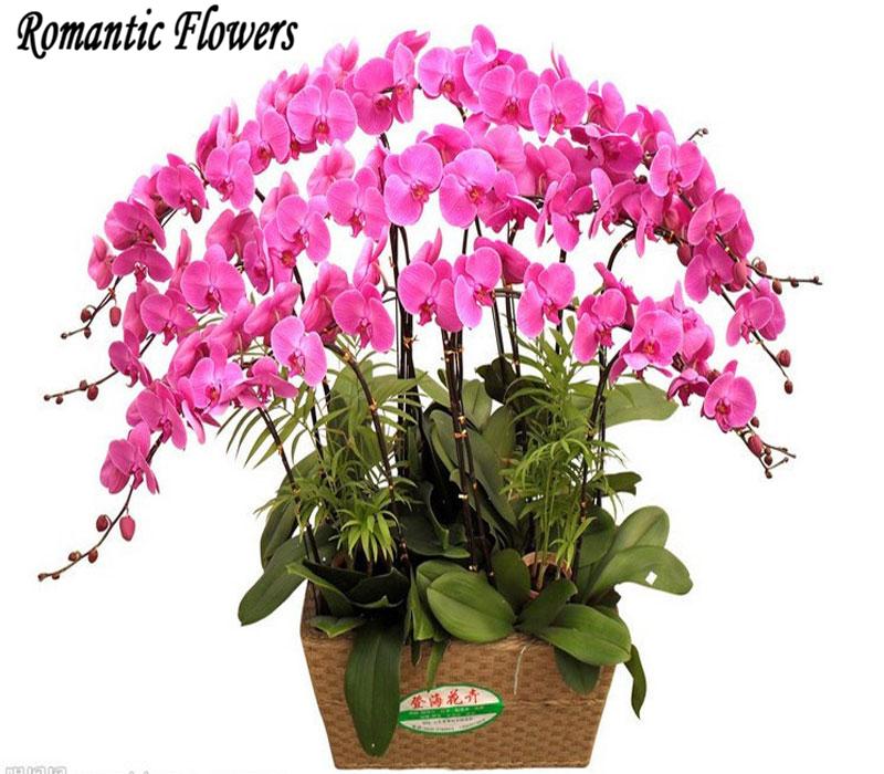 Acquista all 39 ingrosso online live piante di orchidee da for Semi orchidea
