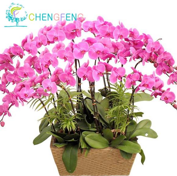 Acquista all 39 ingrosso online orchidee vendita da grossisti for Semi orchidea