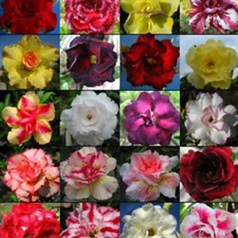 Hot New Multifarious Ornamental Grow up Flower & Plants Seeds Garden For View Decorate Hot(China (Mainland))