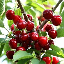 Free shipping Black Cherry tomato seeds, 20pcs Fruit Seed DIY Home Garden big cherry tree Seeds(China (Mainland))