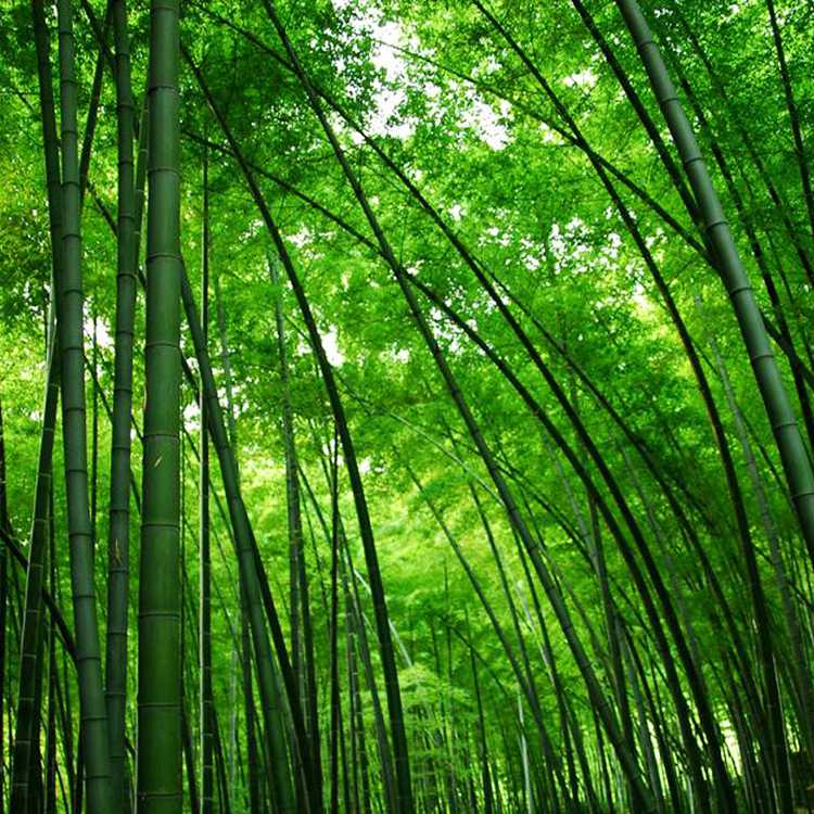 A Package 60 Pieces Seeds Fresh Giant Moso Bamboo Seeds for DIY Home Garden Plant
