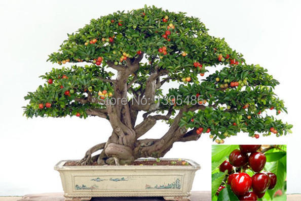 Indoor Fruit Plants 11-11-promotion-today-Upscale-Indoor-Plants-Need-Fruit-Potted-Taiwan ...