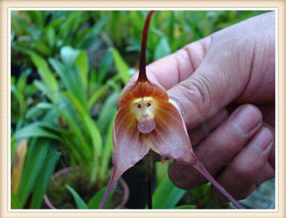 Naughty Little Cute ,50 Piece Potted Peru Monkey Face Orchid Seeds , Senior Phalaenopsis Bonsai Plants Flower - ALI-Express No.1 store