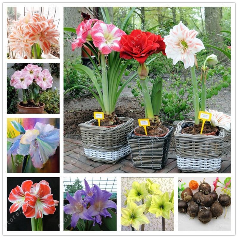 Online get cheap amaryllis flower bulbs for Amarilis decoration
