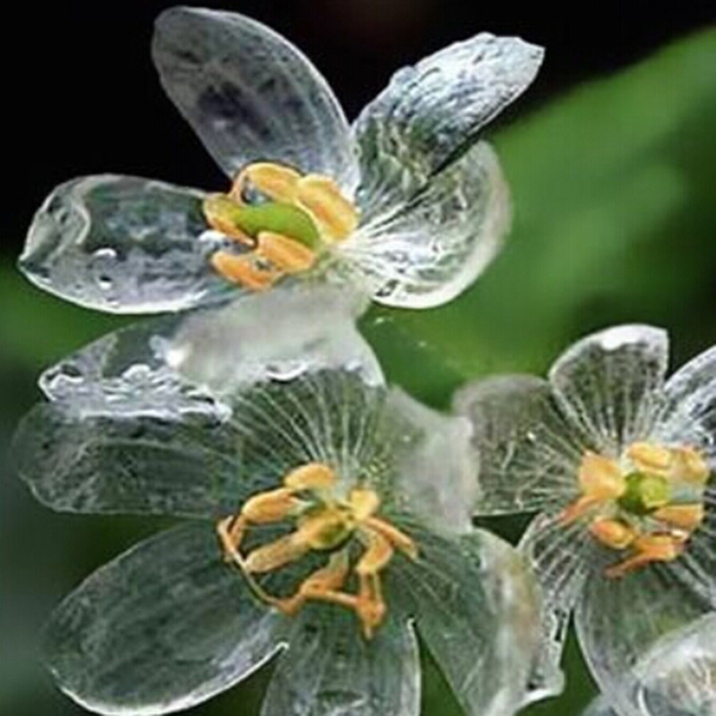 Transparent Flower Seeds Delicate DIY Garden Flower The petals turn transparent with the rain Amazing Free Shipping 20 Seed/pack(China (Mainland))