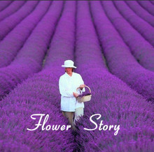 200 French Provence Lavender Seeds -- Very Fragrant  can grow well in Pot or Bonsai Free Shipping (China (Mainland))