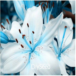 Big Promotion!50 PCS/Bag Senior Perfume Lily Seed, 22 Varieties Garden Plants Flower Seed Bonsai Lily Seed,#WUSEVS(China (Mainland))