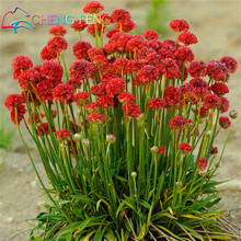 100pcs New Purple Armeria Maritima Seeds Sea Thrift Seagrass Seed Pot Bonsai Flower Seeds Potted For Home Garden Plants Planting(China (Mainland))