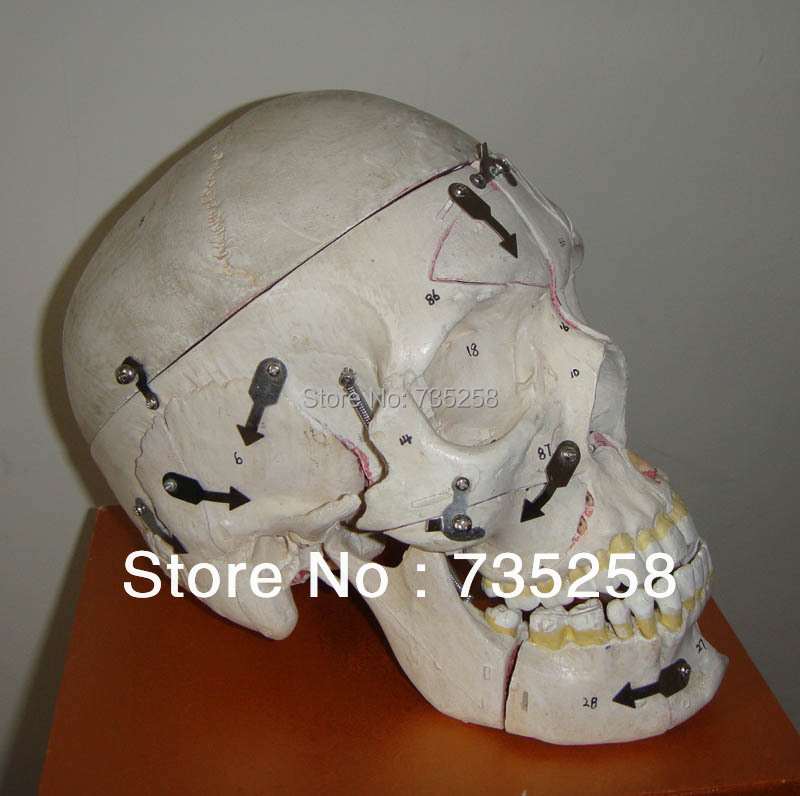 2013 New Product Adult Skull With Neurovascular Model<br>