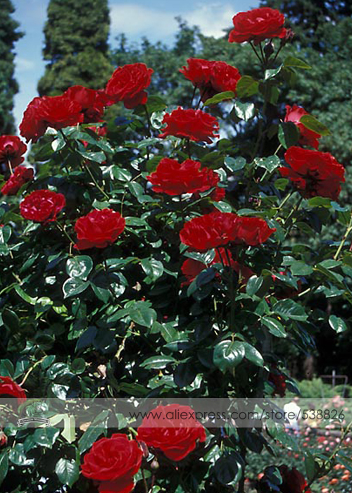 Popular plant climbing roses buy cheap plant climbing roses lots from china plant climbing roses - Planting rose shrub step ...