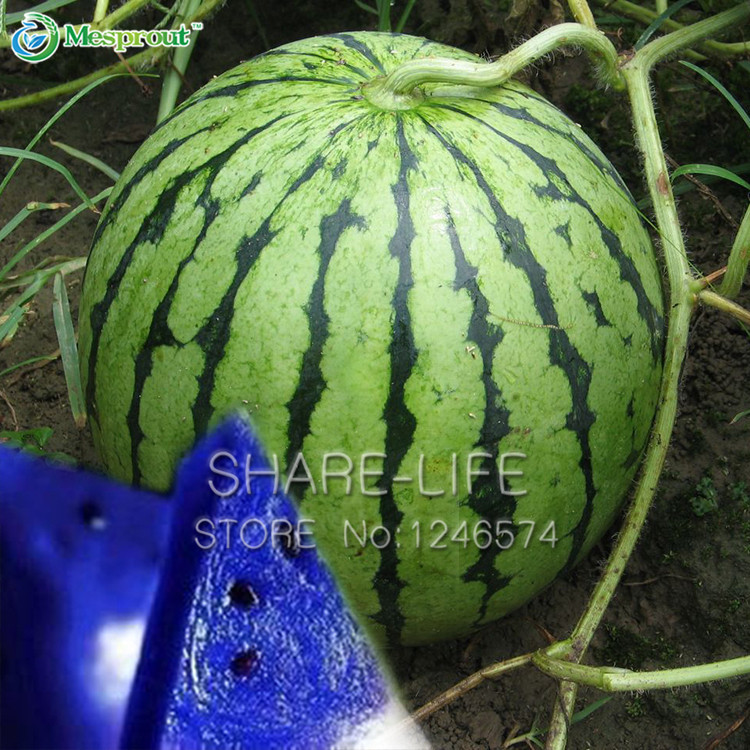 30 Pieces Seeds Blue Flesh Watermelon Seeds New Varieties of Water Melon Bonsai Plants Seeds NON-GMO Edible Fruits(China (Mainland))