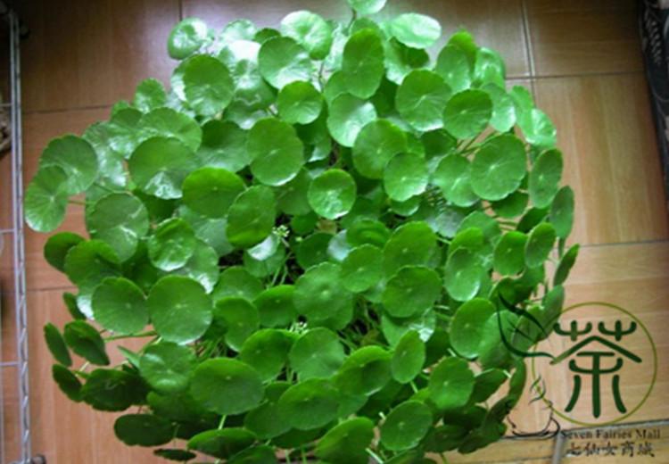 Buy novel plant herba lysimachiae seeds for Buy air purifying plants