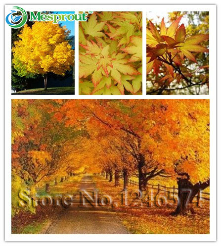 20seed /bag yellow maple tree live seed Home Garden Norway maple gold tree seeds good bonsai for beautiful your home garden(China (Mainland))