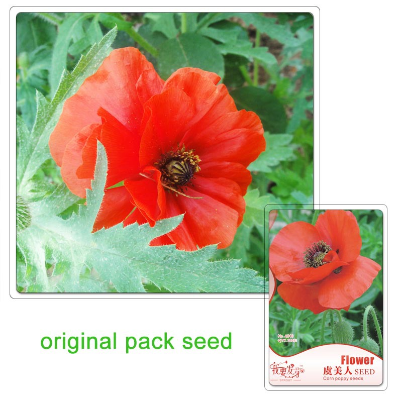 Original Pack 120 Seeds / Pack,Poppy, red poppy flower garden planting seeds, Iceland poppy seeds(China (Mainland))