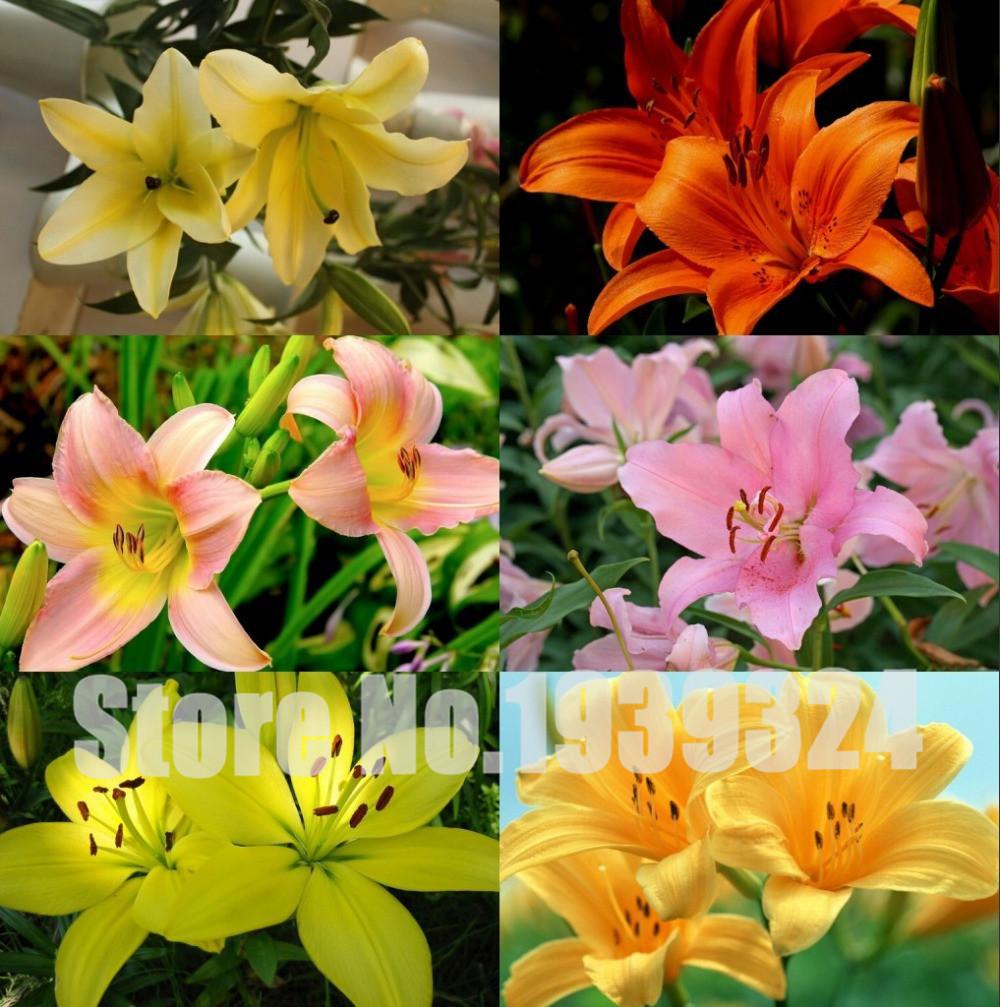 Cheap Wholesale 24 Colors New Lily Plants Indoor Bonsai Perfume Lily Seeds Lily Flower Seeds - 50 Seeds/Pack(China (Mainland))
