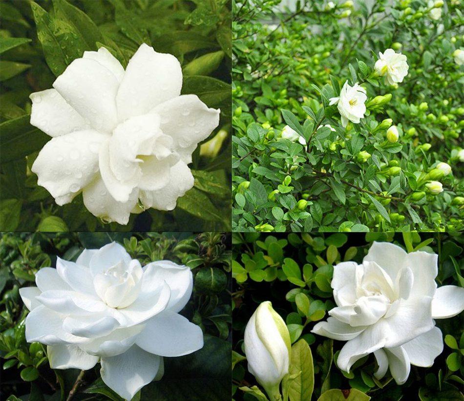 Gardenie piante acquista a poco prezzo gardenie piante - Gardenia pianta da giardino ...