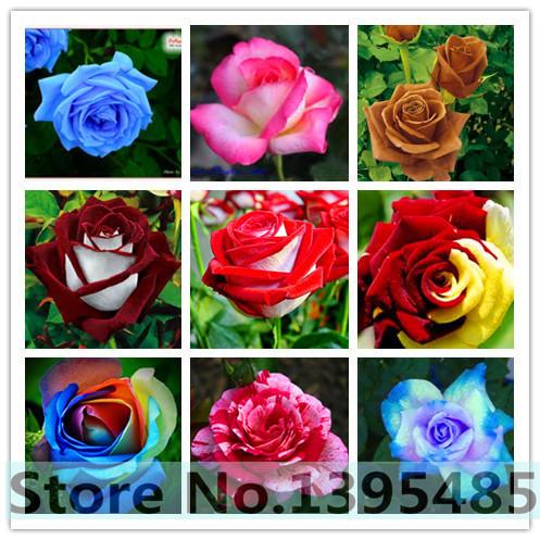 200 rare mixed COLORS rose seeds rainbow rose seeds for bonsai planting(China (Mainland))