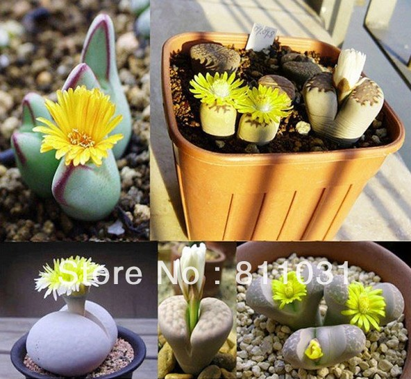 Hot selling 50pcs Lithops Super mix Seed Succulents plants bonsai DIY home garden free shipping(China (Mainland))