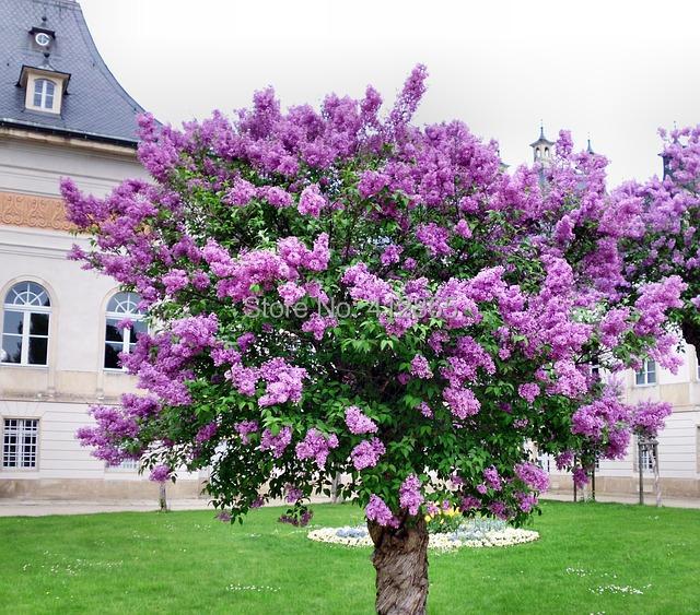 2018 original package lilac flower tree seeds bag perennial garden 15g 17g mightylinksfo