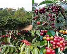 2013 Yunnan Green Coffee Bean High Altitude Arabica AA beans Coffee Beans Raw Coffee Bean Sugar