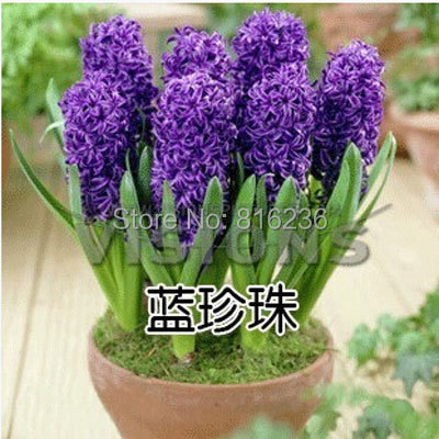 Hyacinth seeds Hyacinthus Orientalis Indoor green plants easy to grow 50 Hyacinthus seeds bag