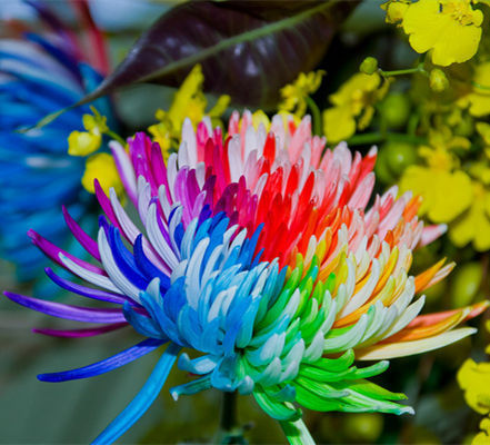 100PC Rainbow Chrysanthemum Flower Seeds, Ornamental Bonsai,Rare Color ,New Choose More Chrysanthemum Seeds Garden Flower Plant(China (Mainland))