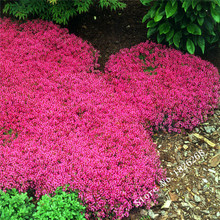 Flower seeds Creeping Thyme Seeds or Blue ROCK CRESS seeds - Perennial Ground cover  garden decoration flower  40pcs AA(China (Mainland))