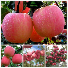 Bonsai tree seeds of Red Fuji Apple Malus domestica trees garden ornament factory fresh sweet fruit seeds 10 g65(China (Mainland))