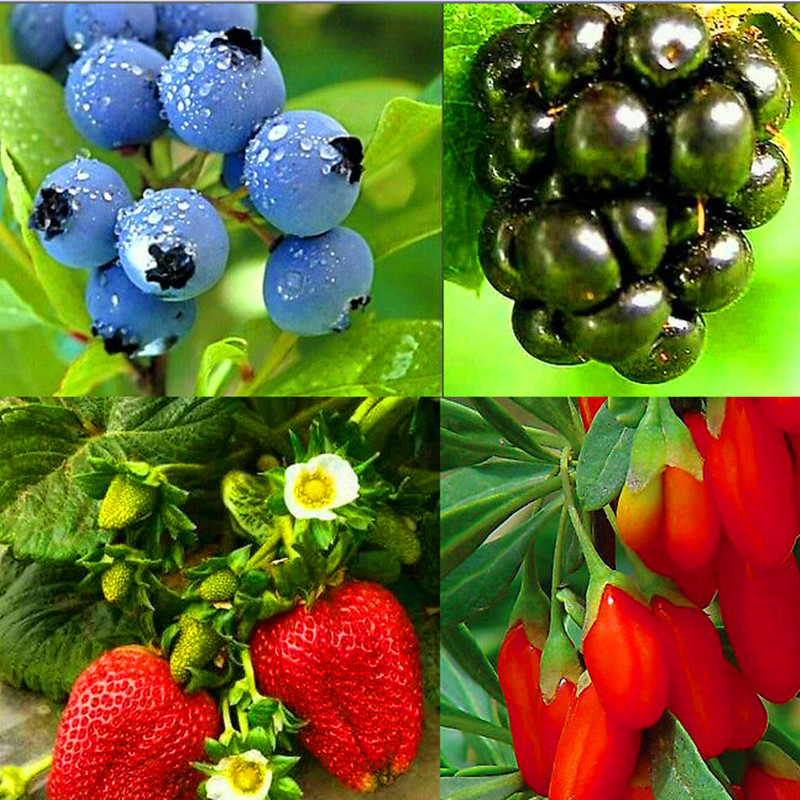 Free Shipping 100nutritious Pre-stratified Jumbo Thornless Blackberry Seed Juicy Sweet Healthy Fruit Diy Home Garden Fruit Seeds(China (Mainland))