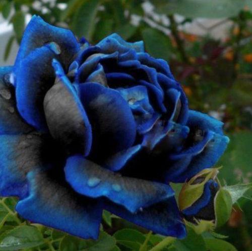 120 PCS Seeds China Rare dark blue Rose Flower Rare Color Rich Aroma DIY Home Garden Rose Plant(China (Mainland))