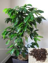Coffee Bean Plant Seeds - JAMAICA BLUE MOUNTAIN - Rare Coffee Bean - 50 Seeds(China (Mainland))