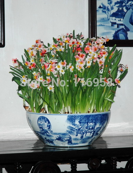 2015 Rushed Vegetable Seeds Chili Wholesale Fragrant Plant Daffodil Bulbs Colorful Seedlings Imported More Meat Landscape Plants(China (Mainland))