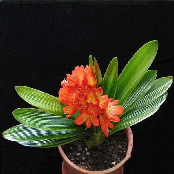 BidWise Shop 5PCS Clivia Miniata Seeds Dust Collector Plant(China (Mainland))