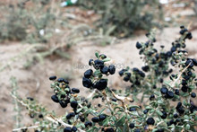 New 2015 Chinese Xinjiang Black goji berry green natural organic pharmaceutical raw materials medlar 100g