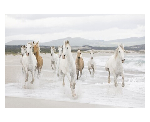 animals horses motion run fur hair 50X75cm Poster On Wall Home Decoration Posters Prints For Rooms Party(China (Mainland))