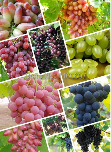 50pcs/lot Fruit seeds grape seeds DIY Home Bonsai tree seeds Garden case a jardim garden plants semillas de plantas gift(China (Mainland))