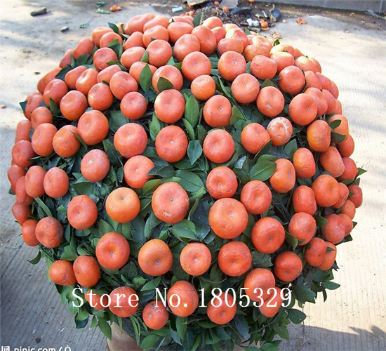 20pcs Edible Fruit Mandarin Bonsai Tree Seeds, Citrus Bonsai Mandarin Orange Seeds(China (Mainland))