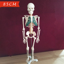 Buy 4D 85cm Human dental skull skin brain odontologia skeleton anatomical mac esqueleto anatomia anatomy trauma model for $69.99 in AliExpress store