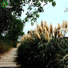 Pampas grass seeds Grass Seeds Bonsai Plant Home Garden 20 Particles / lot m007 - Feng Love Life Supermarket store