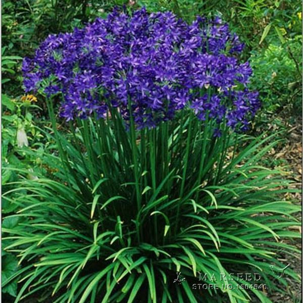 Гаджет  Free Shipping,20 Agapanthus Africanus Seeds ,Beautiful, Home Garden flower,easy care and drought tolerant None Дом и Сад