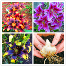 Buy True Lily Bulbs bonsai flower bulbs Indoor Plant Radiation Absorption Bulbous Root lilium plants plant pot 1 pcs for $1.51 in AliExpress store