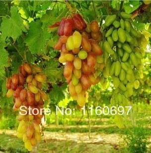 Free Shipping 50PCS are gold finger grapes seeds Fruit seeds red finger for home garden(China (Mainland))