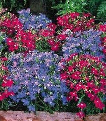 100PCS/lot wholesale LOBELIA REGATTA BLUE/ROSE MIX TRAILING PERENNIAL FLOWER SEEDS(China (Mainland))