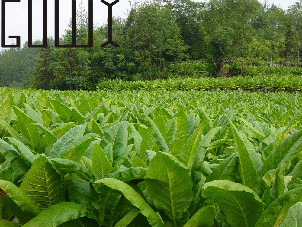 Tobacco plant reviews online shopping tobacco plant for Gardening express reviews
