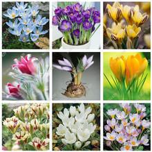 Buy 3 Pcs True Iran Crocus Saffron Bulbs, (not saffron seed), Bubluos Flower Bulbs, Bonsai Pot Exotic Plant Home Garden for $1.32 in AliExpress store
