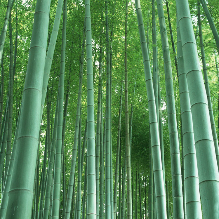 Online buy wholesale bamboo plants from china bamboo for Moso bamboo prezzi