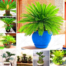 Buy 2pcs / bag Cycas Seed Germination Rate 97% Rare Potted Plant Family Garden New Seed 2016 DIY Home Garden for $3.04 in AliExpress store