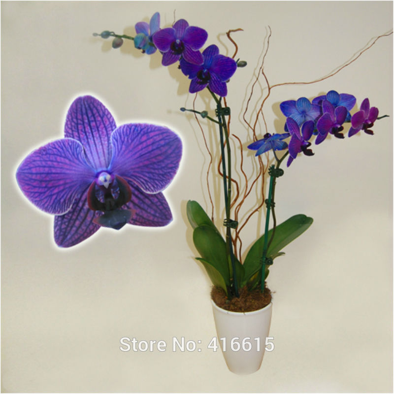how to grow moth orchids from seed