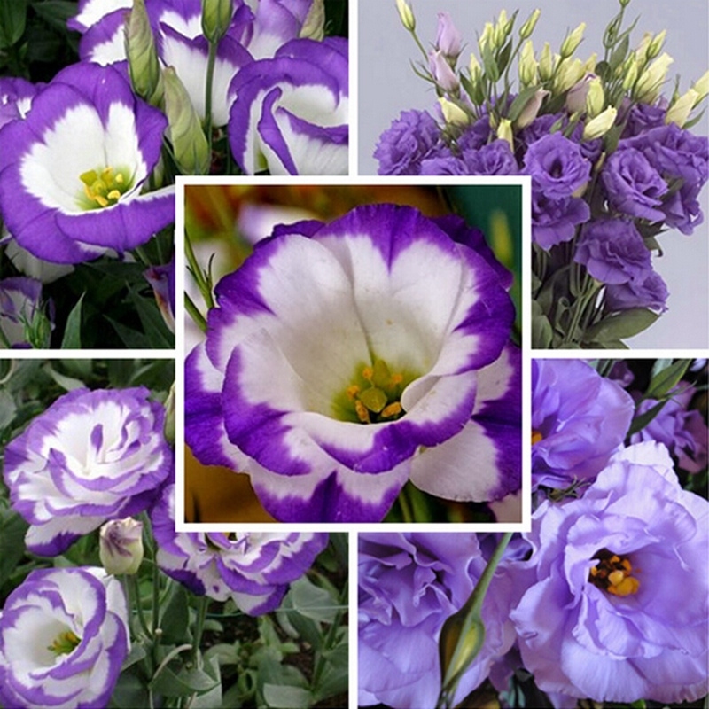 5PCS/Bag Blue Picotee Seed lavender Blue Seed Prairie Gentian Fresh Cut Flower Plant(China (Mainland))